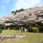 ボタン園横 桜