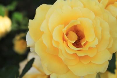 Rosa 'Gold Bunny'
