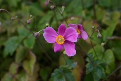 Anemone hupehensis var.japonica