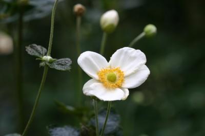 Anemone hupehensis var.japonica.jpg