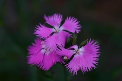Dianthus hybridus 'Hatsukoi'