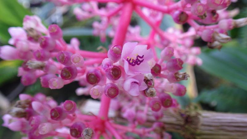 Medinilla speciosa (2)