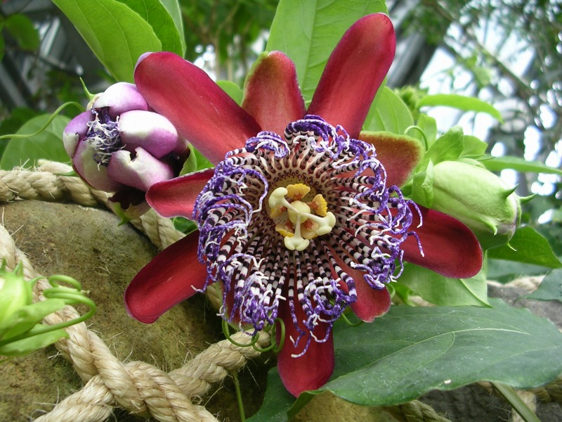 Passiflora alata2005.12.30