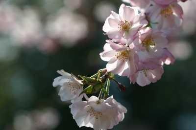 11サブ ジュウガツザクラ Cerasus x subhirtella 'Autumnalis'3