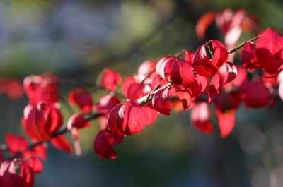 Euonymus alatus f.ciliatodentatus