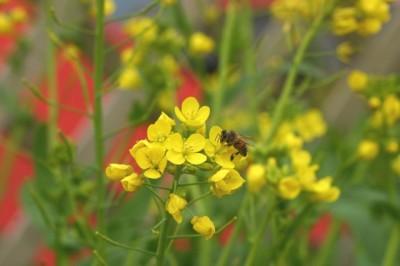 Brassica rapa var. amplexicaulis