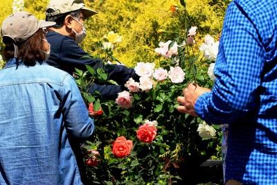 s-バラの花摘み園