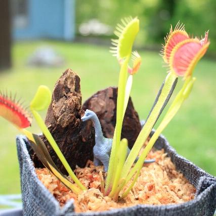 食虫植物を育てよう
