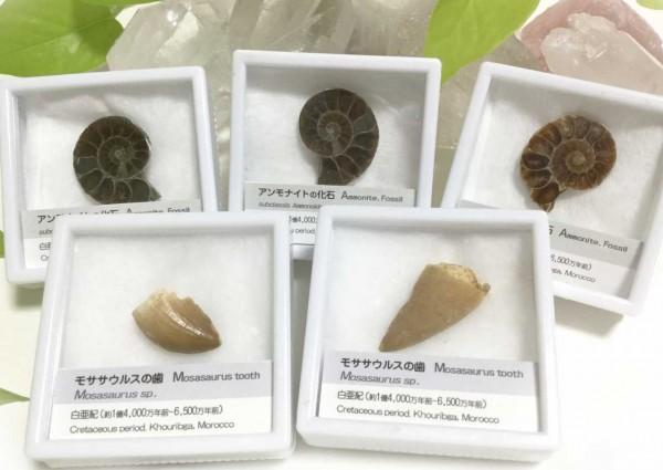 s-化石写真