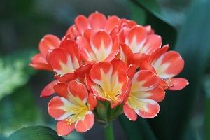 Clivia miniata1