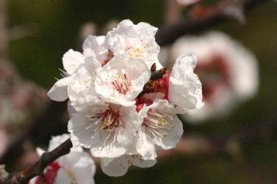 Prunus armeniaca 'Gosukedon'