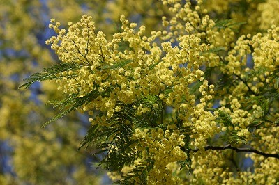 s-ギンヨウアカシアの木