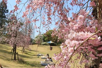 s-桜こたつ