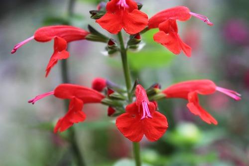 Salvia coccinea_2