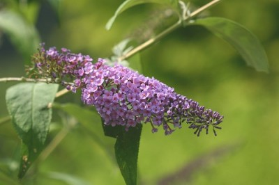 Buddleja davidii'Empire Blue'
