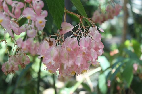 Begonia IMG_3865