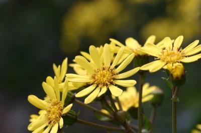 10サブ ツワブキFarfugium japonicum
