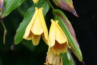 Tricyrtis macranthopsis