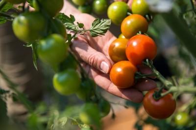 野菜の自由研究