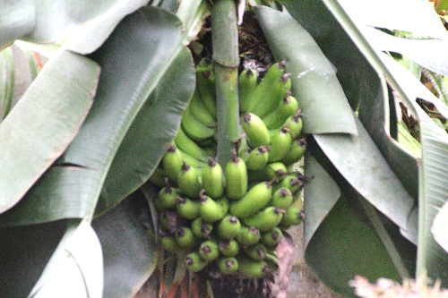 バナナ20200909IMG_7114s